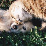 Ciri Kucing Ragdoll dan Cara Merawatnya