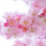 Filosofi Dan Arti Bunga Sakura