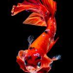 Kesalahan Pembudidaya yang Menyebabkan Telur Ikan Cupang Gagal Menetas