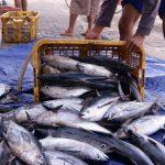 Tips Sebelum Mengkonsumsi Ikan Tongkol