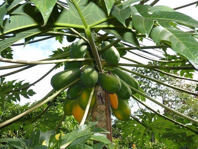 Jenis-Jenis Pohon Pepaya